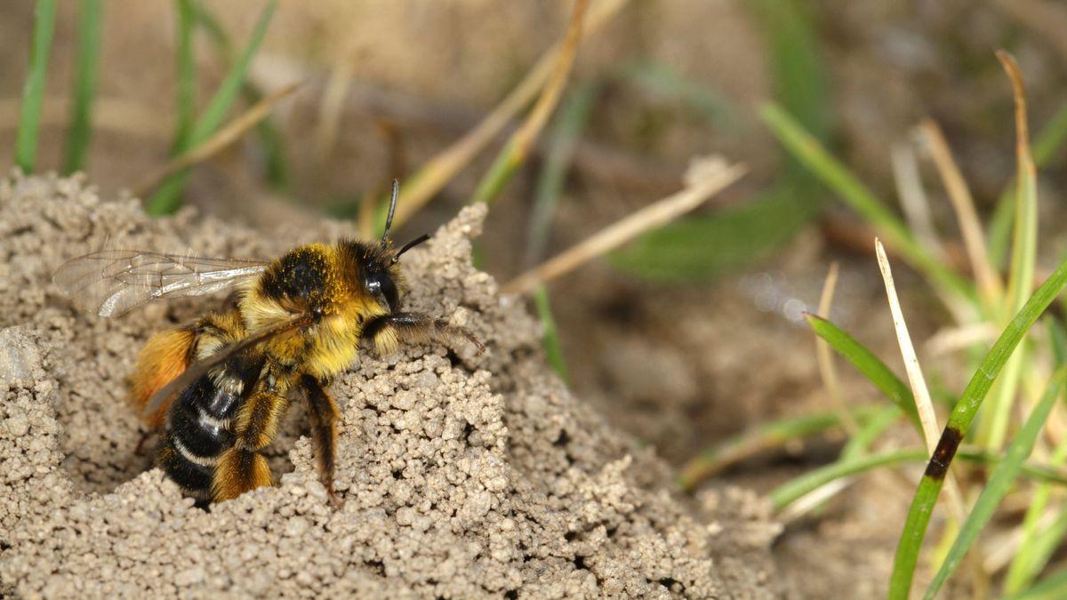 Hosenbiene an ihrem Nesteingang