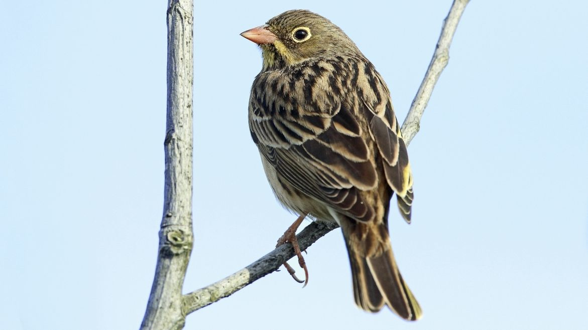 Bedrohter Feldvogel: die Gartenammer, auch Ortolan genannt