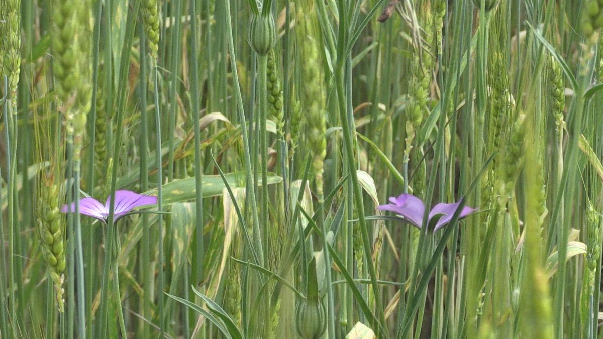 Getreidefeld mit Blumen - dazwischen  der Laufener Landweizen mit den typischen langen Grannen