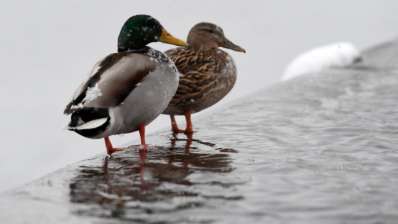 Enten sitzen bei Schneefall auf einer überspülten Stufe am Messesee.