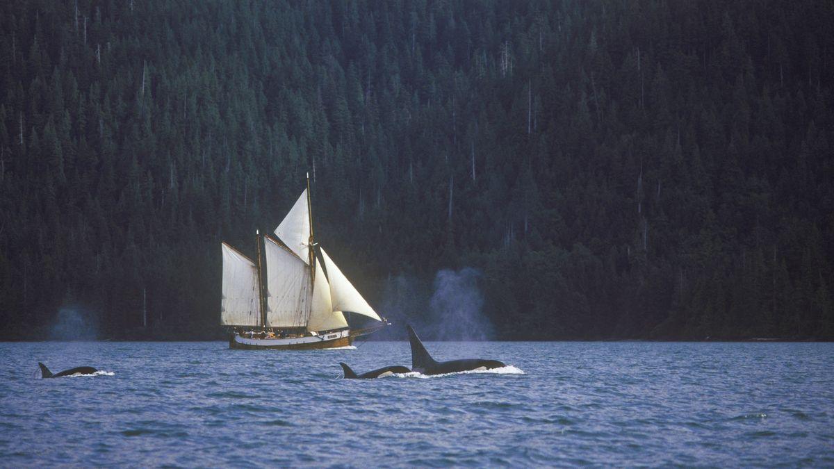 Orcas vor einem Segelboot