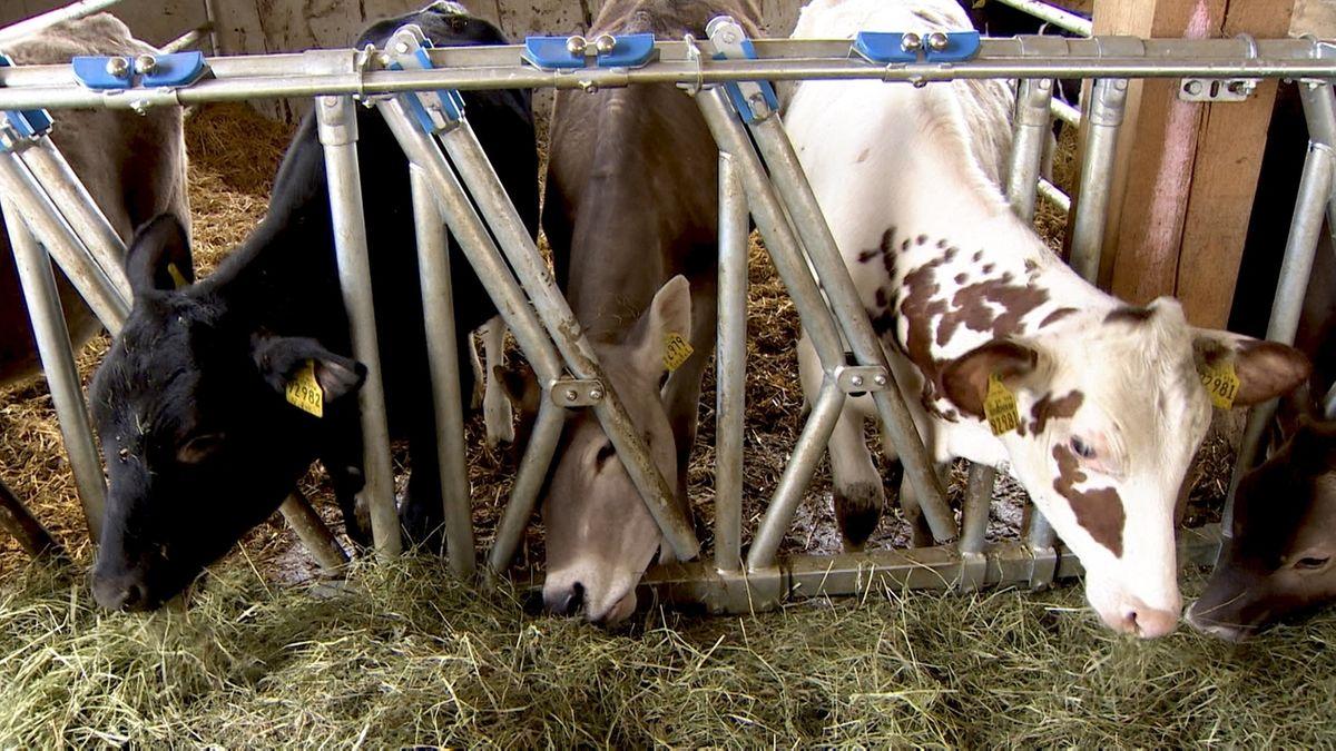 Rinder auf dem Hof von Biolandwirt Thomas Felder