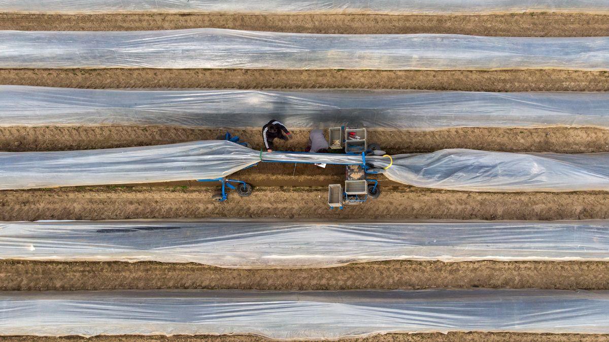 Erntehelfer stechen auf einem Feld mit einer elektrischen Erntemaschine Spargel