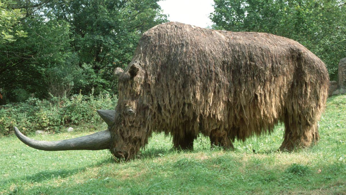 Ein Modell des ausgestorbenen Wollnashorns. Bisher dachte man, unsere Vorfahren hätten sie durch ausgiebige Jagd ausgerottet.