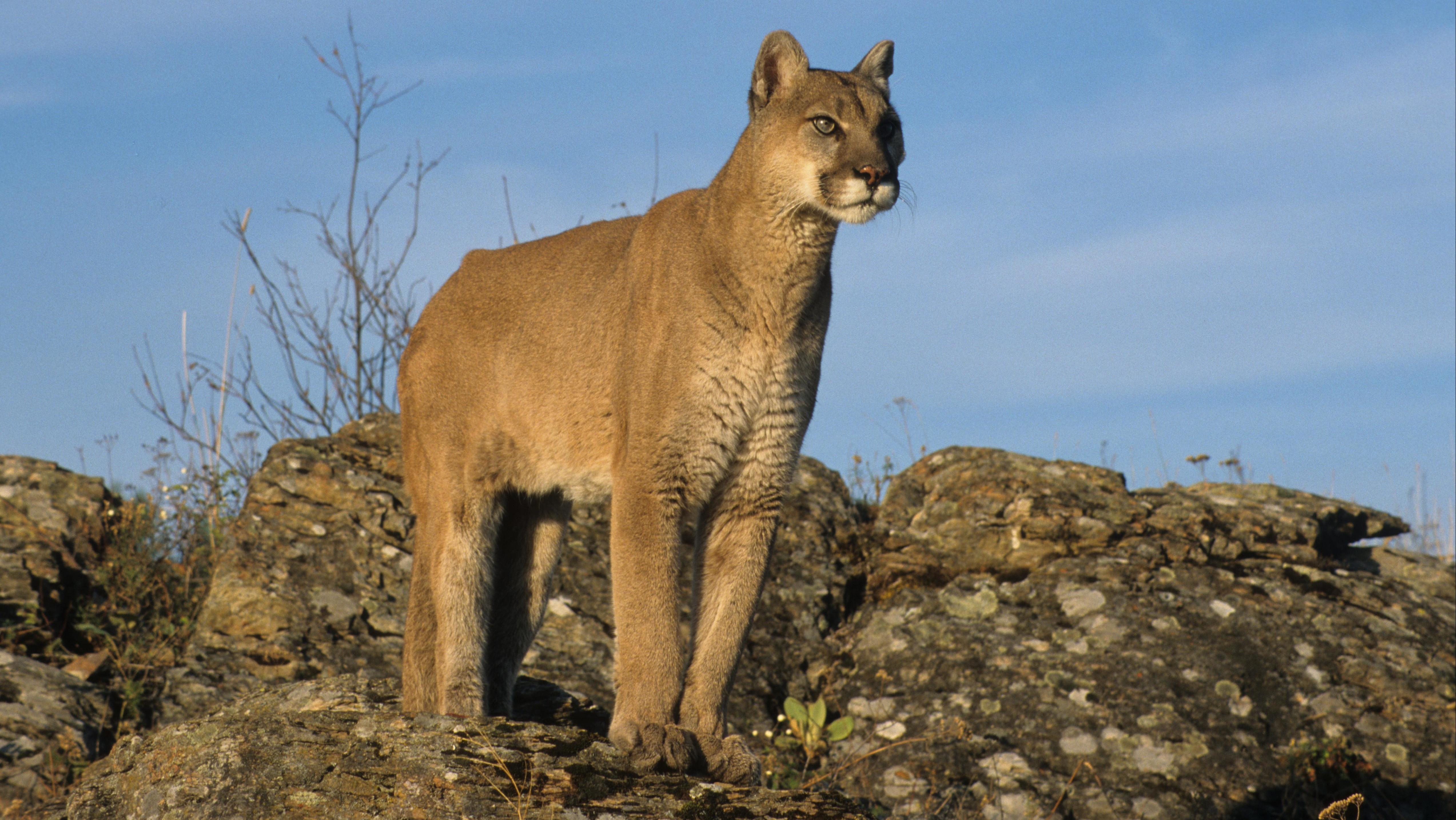 Puma (Felis concolor) Alttier steht auf Fels.