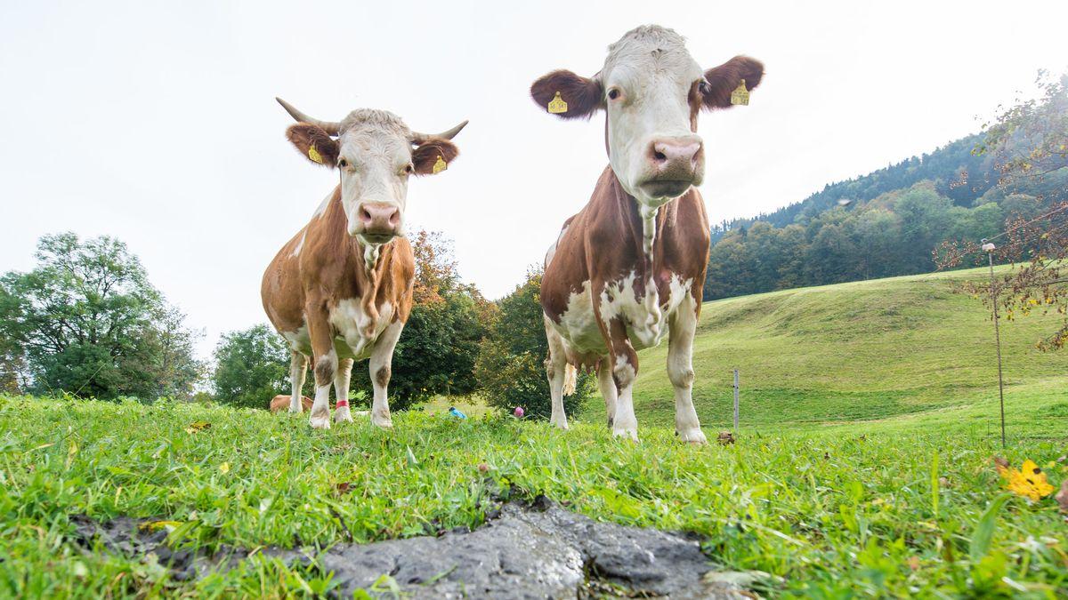 Zwei braune Kühe auf einer Weide.