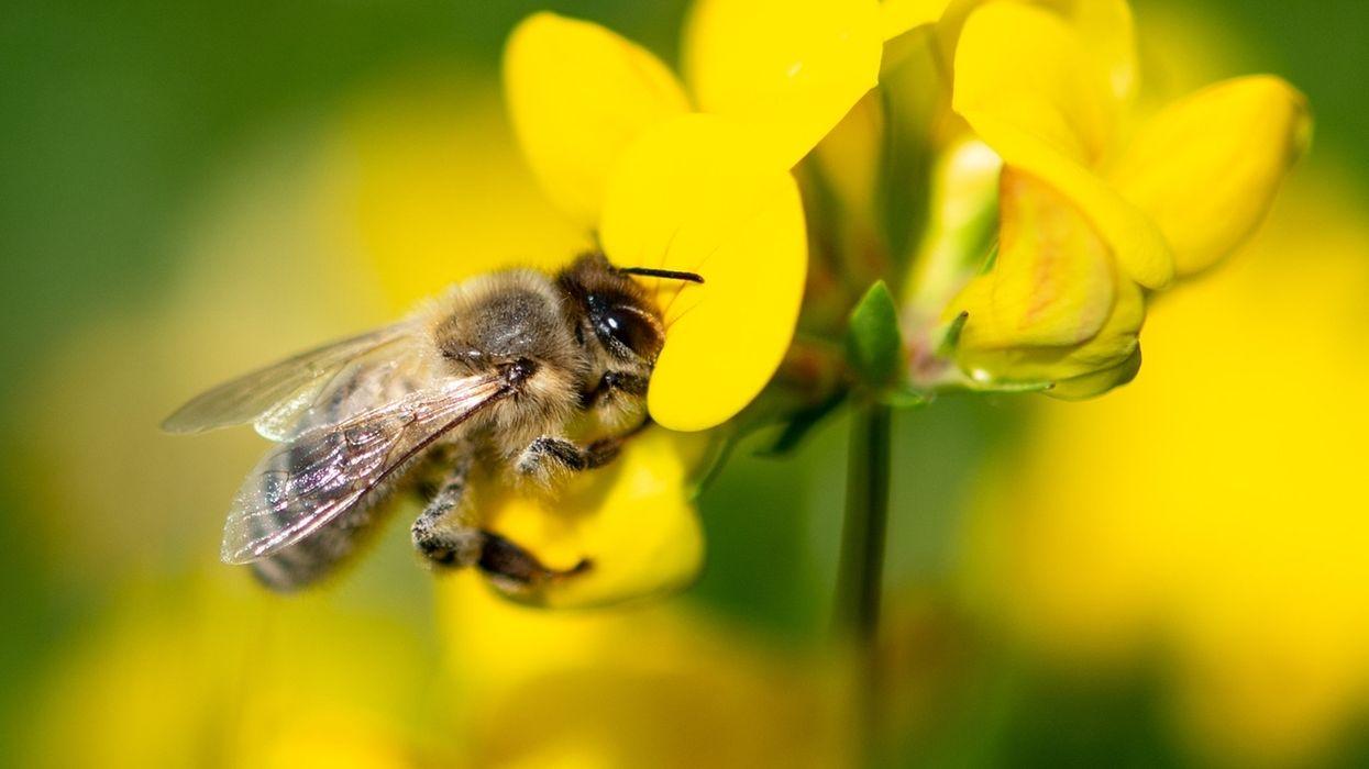 Eine Biene zieht Nektar aus einer gelben Wiesenblume.