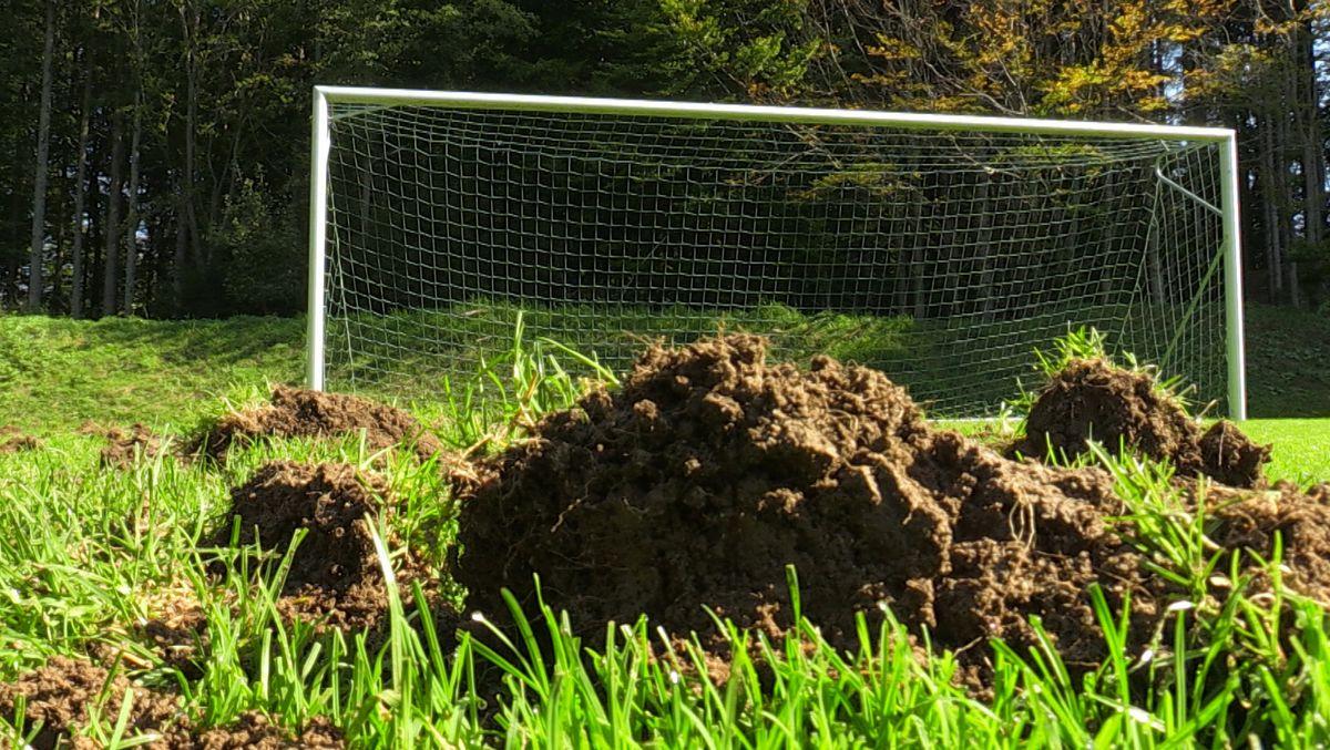 Wildschwein-Rotte zerstört Fußballfeld in Wangen