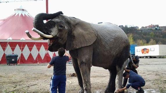 """Einer der Elefanten des """"Cirkus Afrika"""""""
