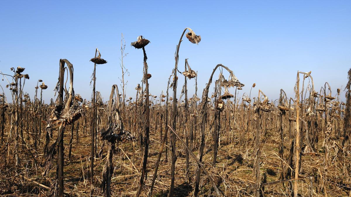 Dürre, Kalchreuth in Mittelfranken: Die anhaltende Trockenheit ließ dieses Sonnenblumenfeld verdörren.