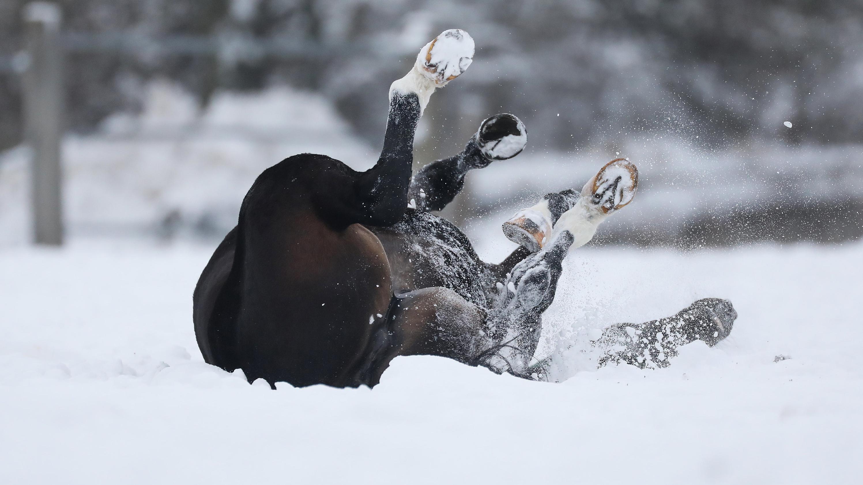 Baden-Württemberg, Gomadingen-Marbach: Ein Pferd wälzt sich im Schnee