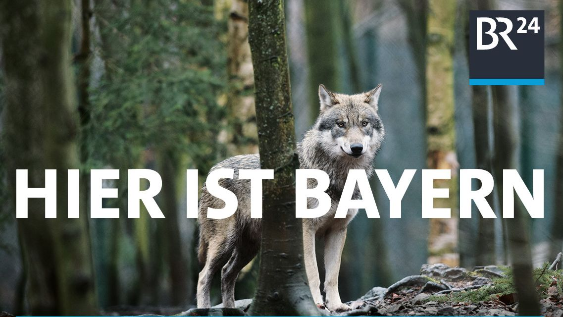 Ein Wolf steht im Bayerischen Wald: BR24 will sagen: auch hier ist Bayern