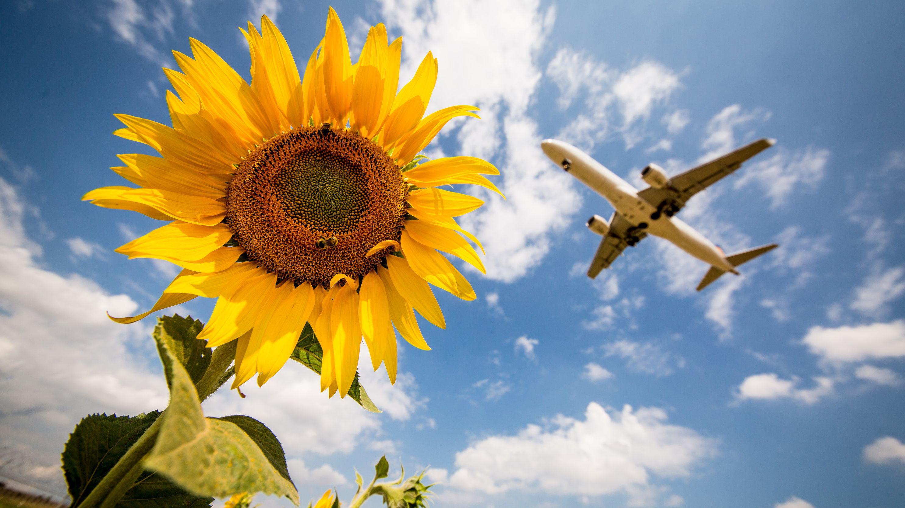 Sonnenblume und im Hintergrund ist ein Flugzeug