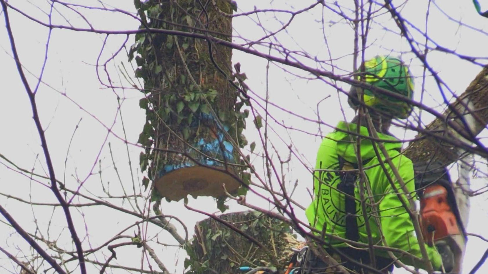 Baumfällarbeiten mit Hubschrauber bei Kempten