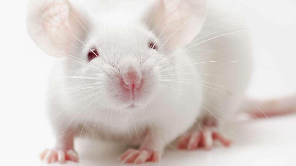Weiße Maus auf weißem Hintergrund