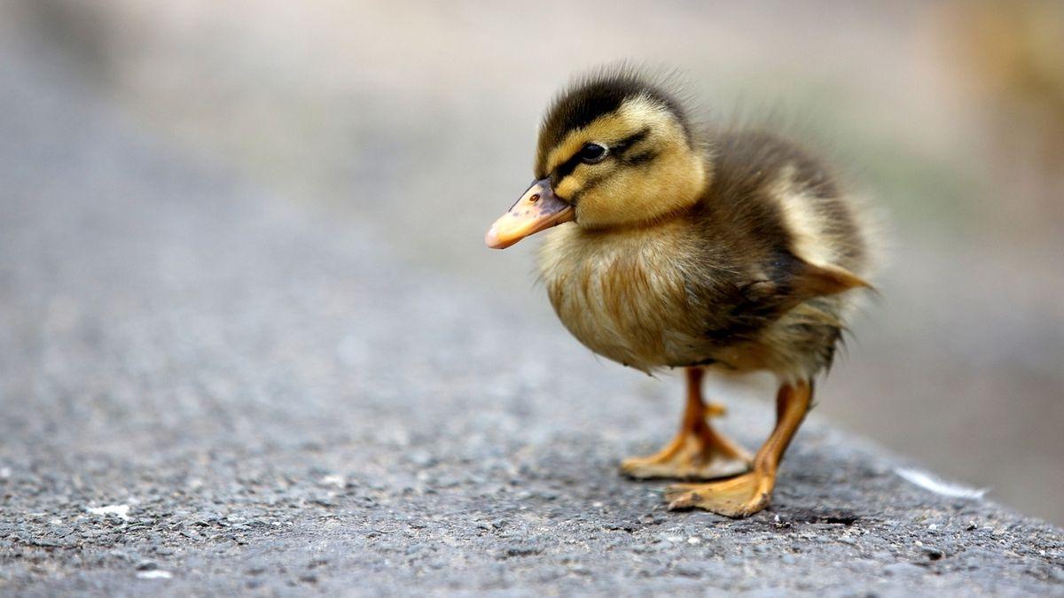 Eine Ente läuft auf einem Radweg.