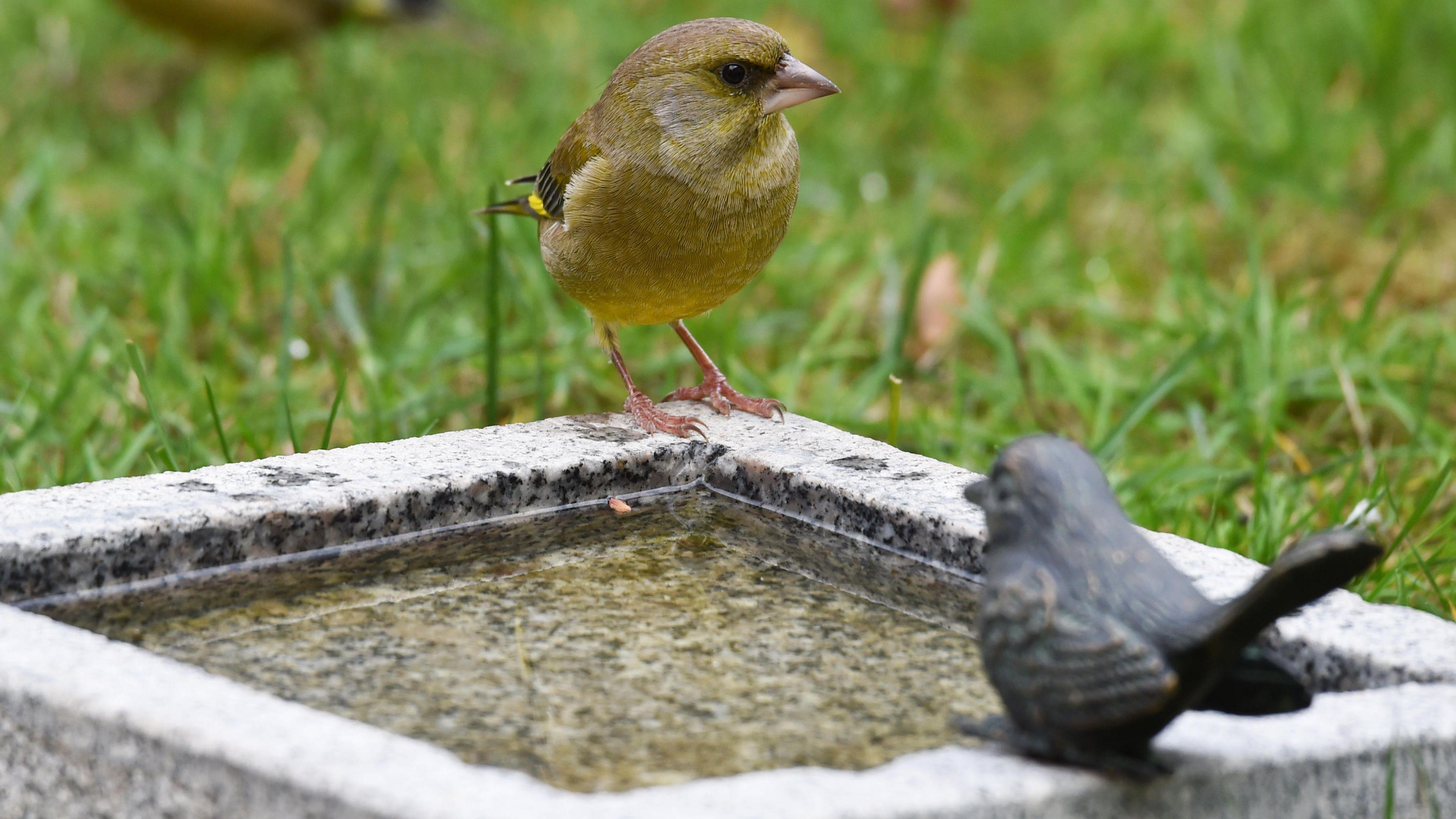 Vogel an einer Tränke
