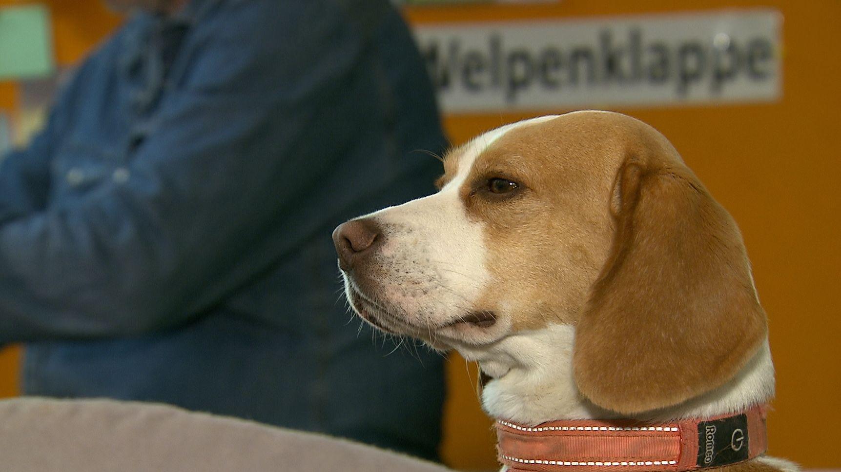 Beagle Paula in der Welpenklappe in München