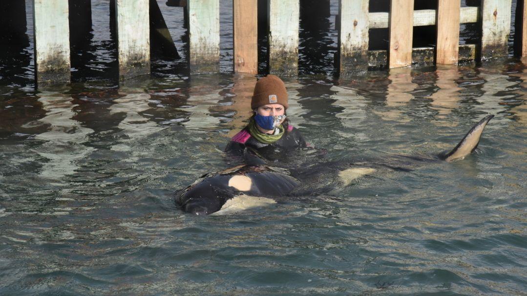 Das gestrandete Orca-Baby Toa