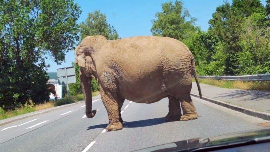 """Ein Elefant des """"Circus Afrika"""" läuft über eine Straße in Cham"""