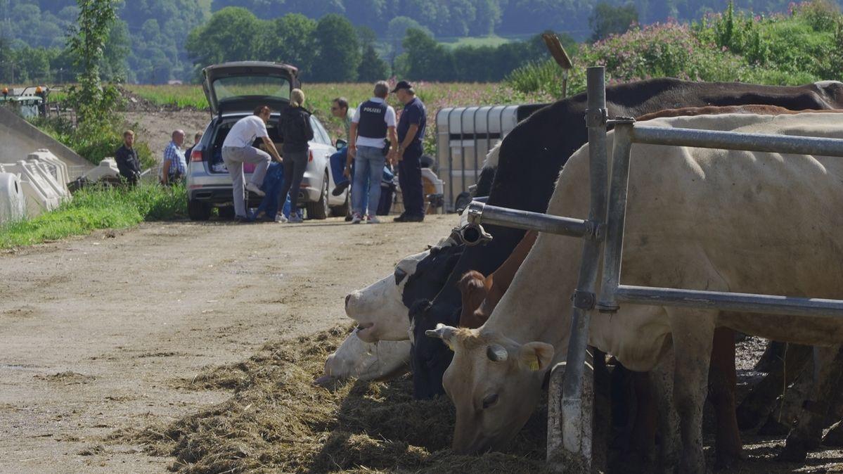 Kühe im Vordergrund - im Hintergrund Ermittler, die einen dritten Bauernhof in Bad Grönenbach im Unterallgäu durchsuchen