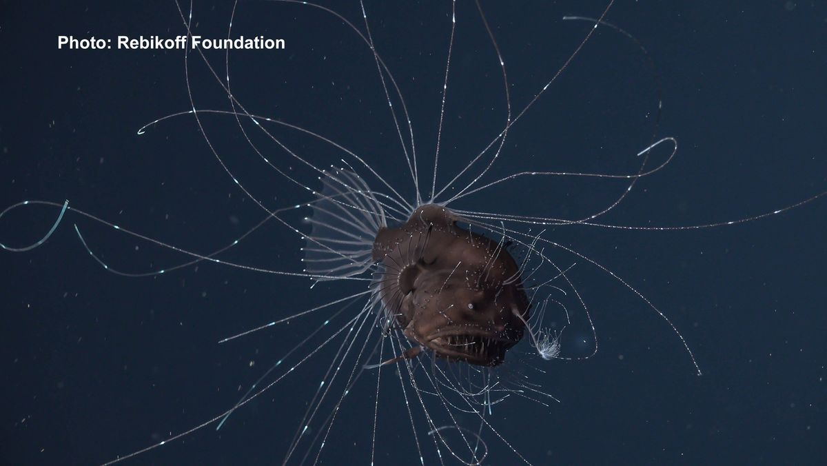 Tiefsee-Anglerfisch mit leuchtenden Tentakeln