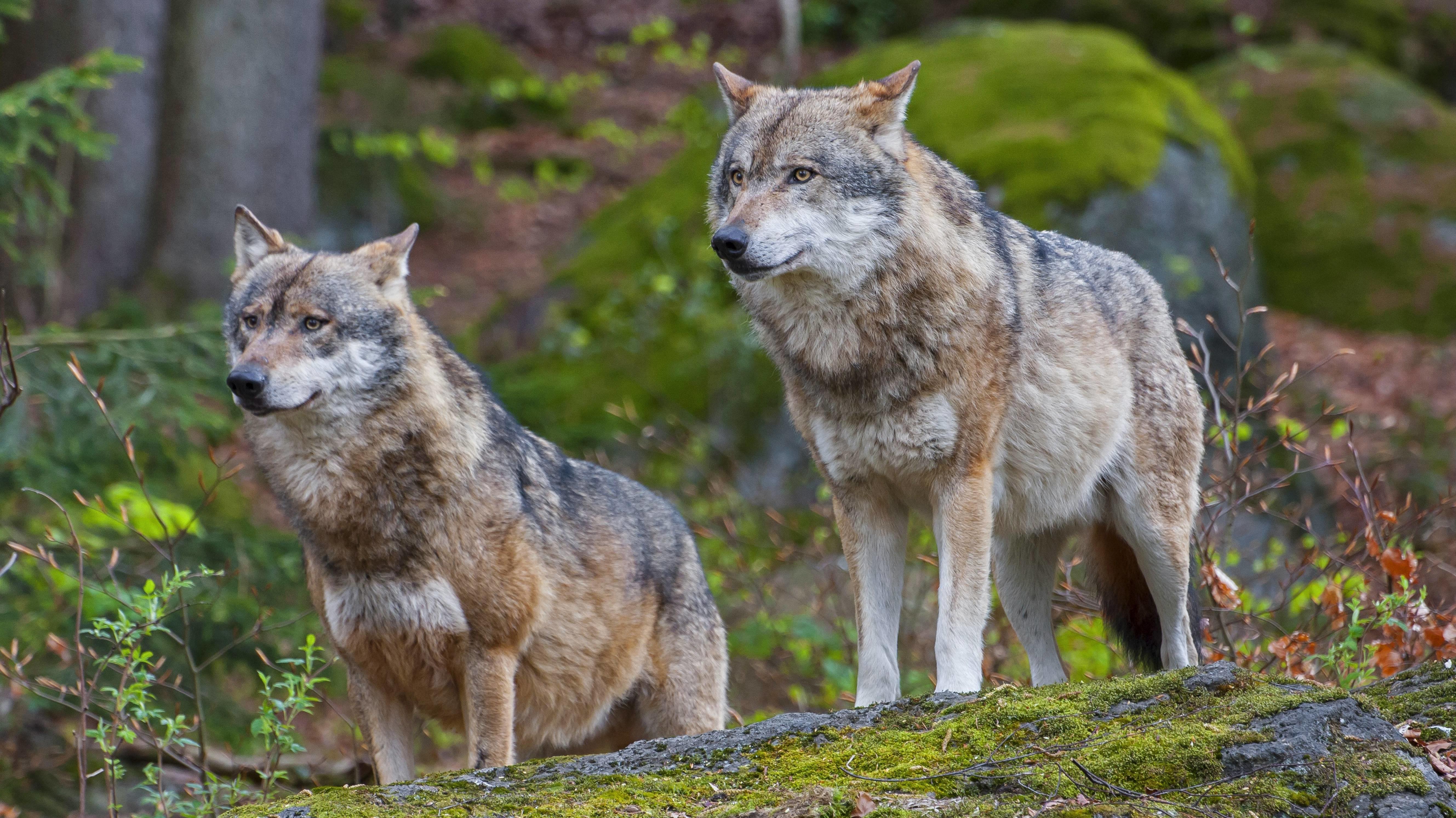Wölfe im Nationalpark Bayerischer Wald (Symbolbild)