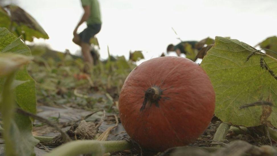 Ein Kürbis liegt auf einem Feld von Biobauer Christoph Reiner