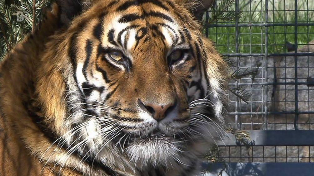 Tigerdame Rhani im Ansbacher Raubtierasyl