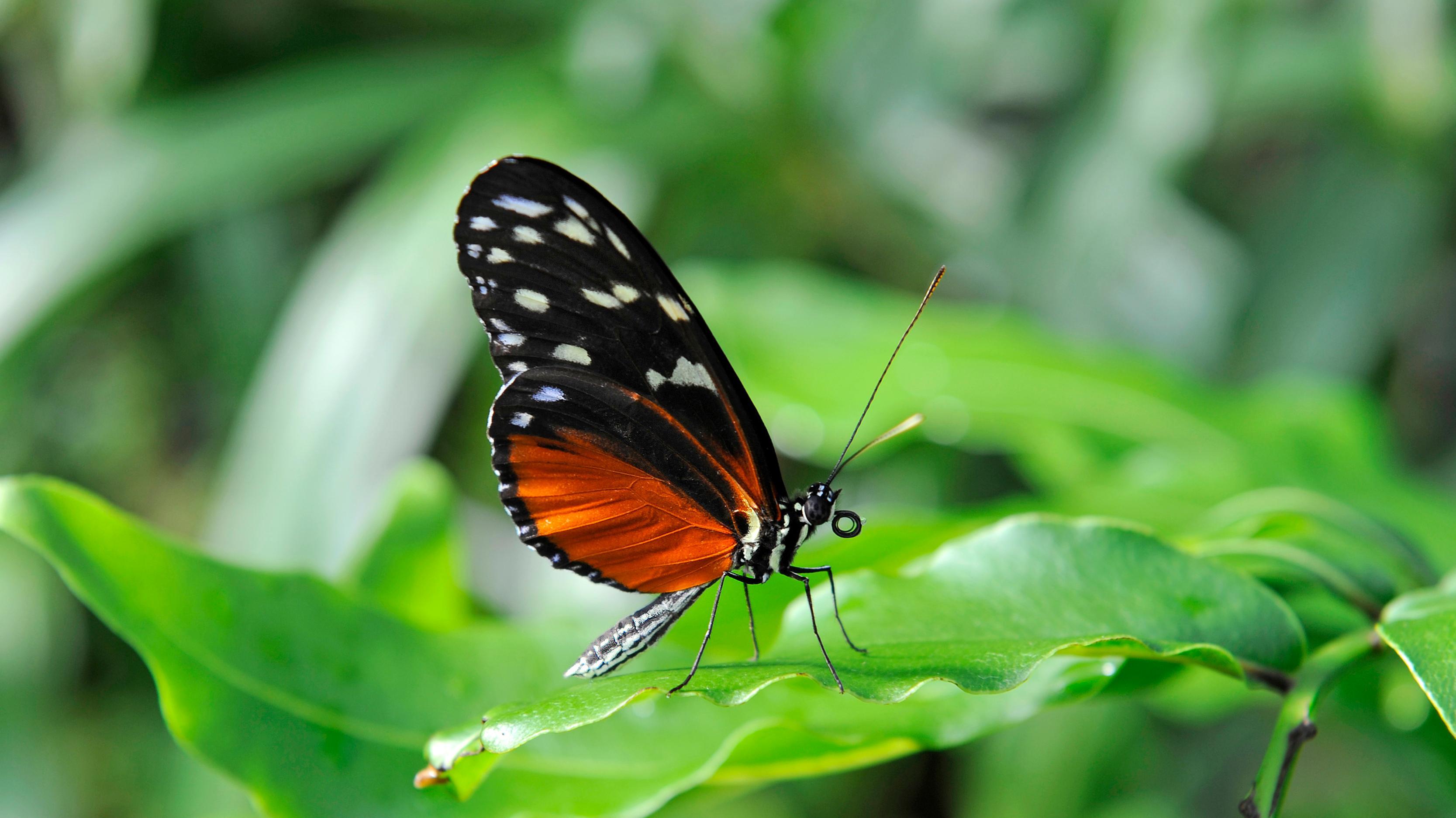 """Tiger-Passionsblumenfalter"", Schmetterling"
