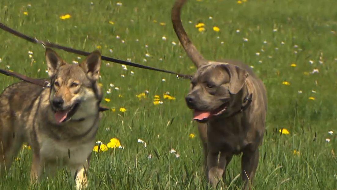 Zwei Hunde auf einer Wiese