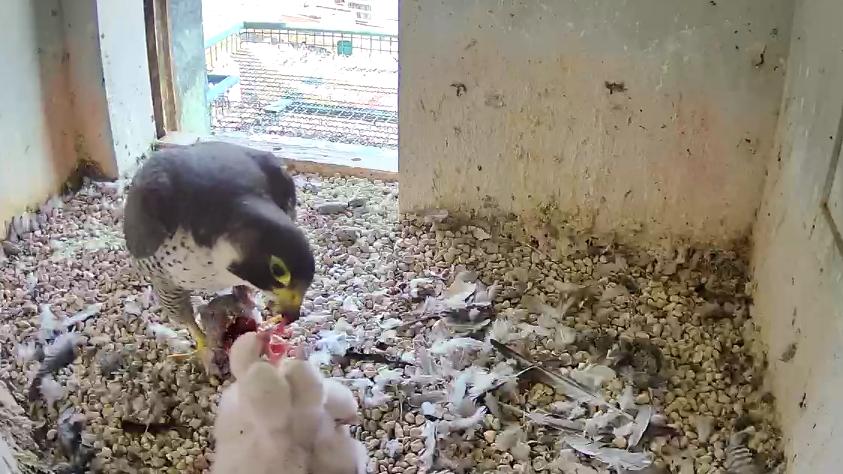 Die Wanderfalken-Mama füttert vier Küken mit rohem Fleisch