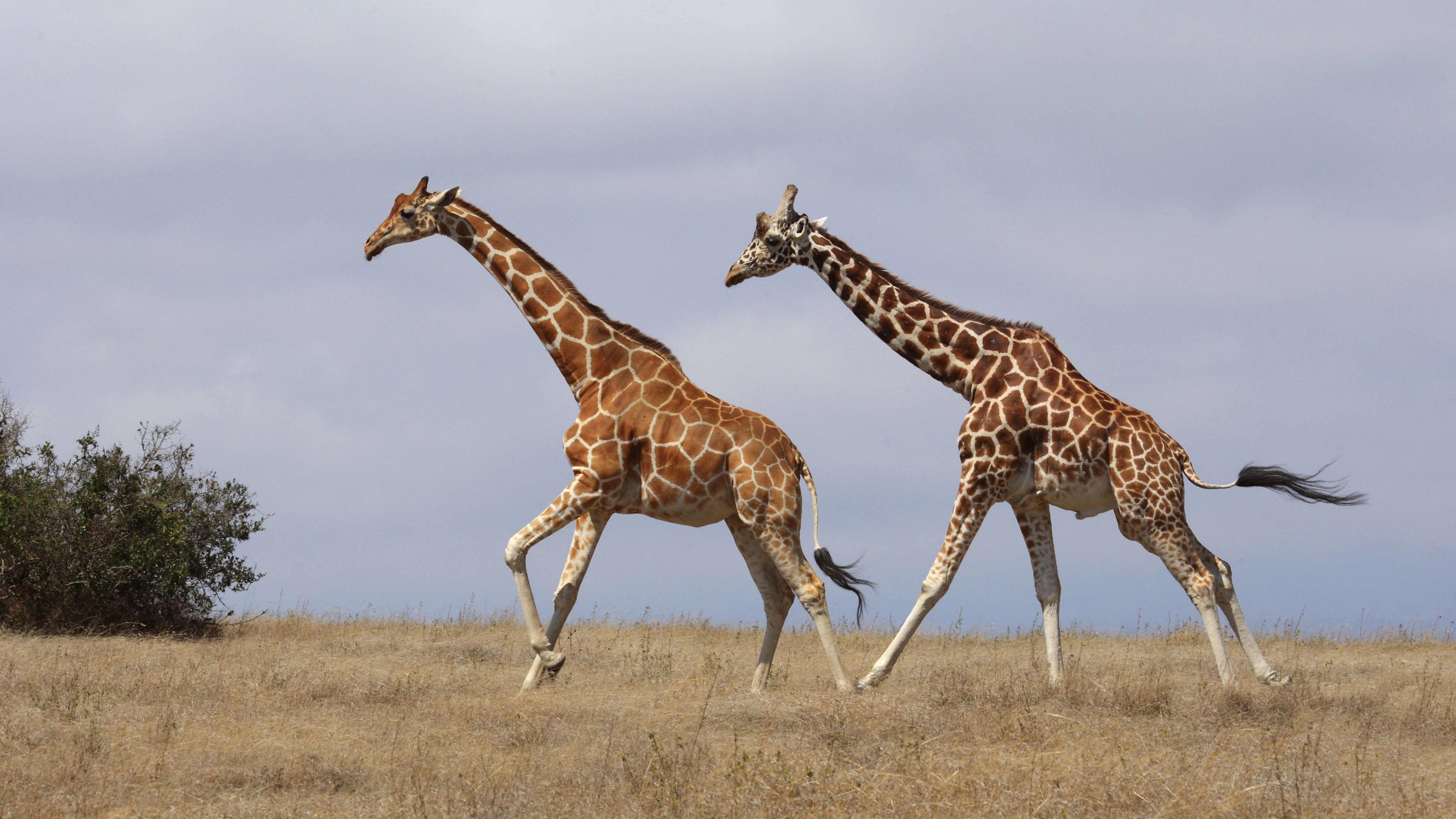 Giraffen im schnellen Lauf über die Savanne: Wie lange werden Giraffen noch durch Afrika streifen? Die Bestandszahlen sind in den vergangenen Jahrzehnten erschreckend eingebrochen