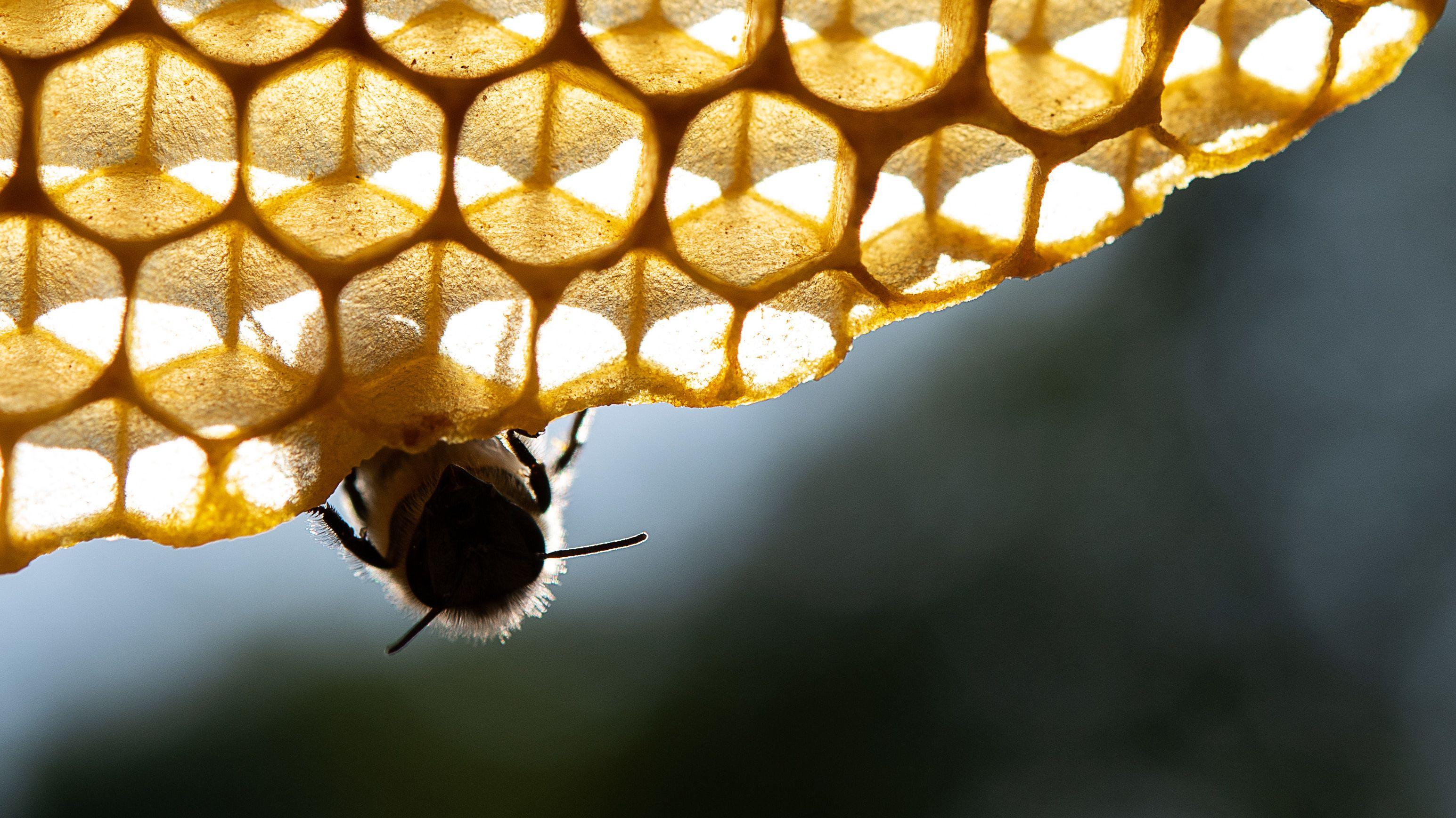 Honigbiene an Wabe