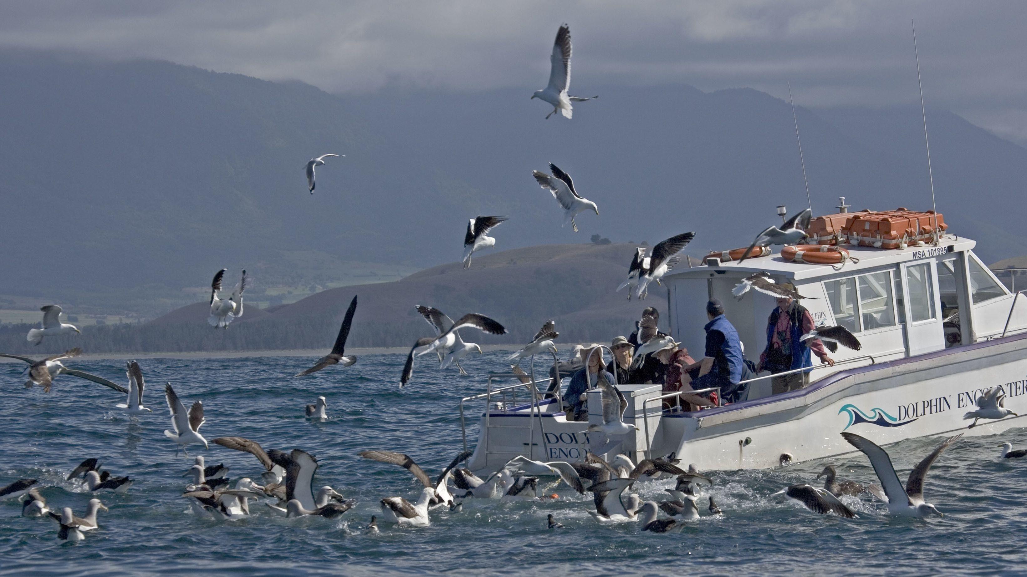 """Albatrosse bei einem Boot voller Touristen. Der Öko-Tourismus profitiert vom gleichen Phänomen wie die Jagd nach illegalen Fischern: Albatrosse werden von fischenden Booten """"magisch"""" angezogen, oft über weite Entfernungen."""