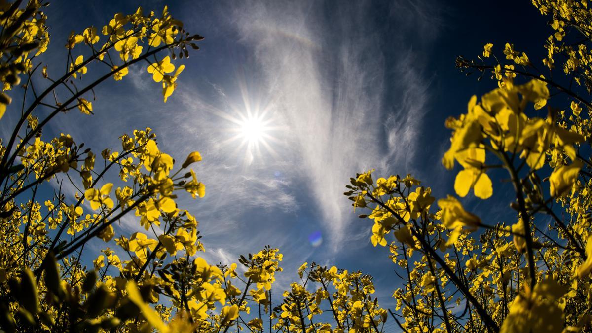 Strahlender Sonnenschein über einem gelb blühenden Rapsfeld. Wetterpaten 2019 gesucht. Ab 12. September können Sie sich bewerben.