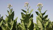Die Tabakpflanze | Bild:picture-alliance/dpa