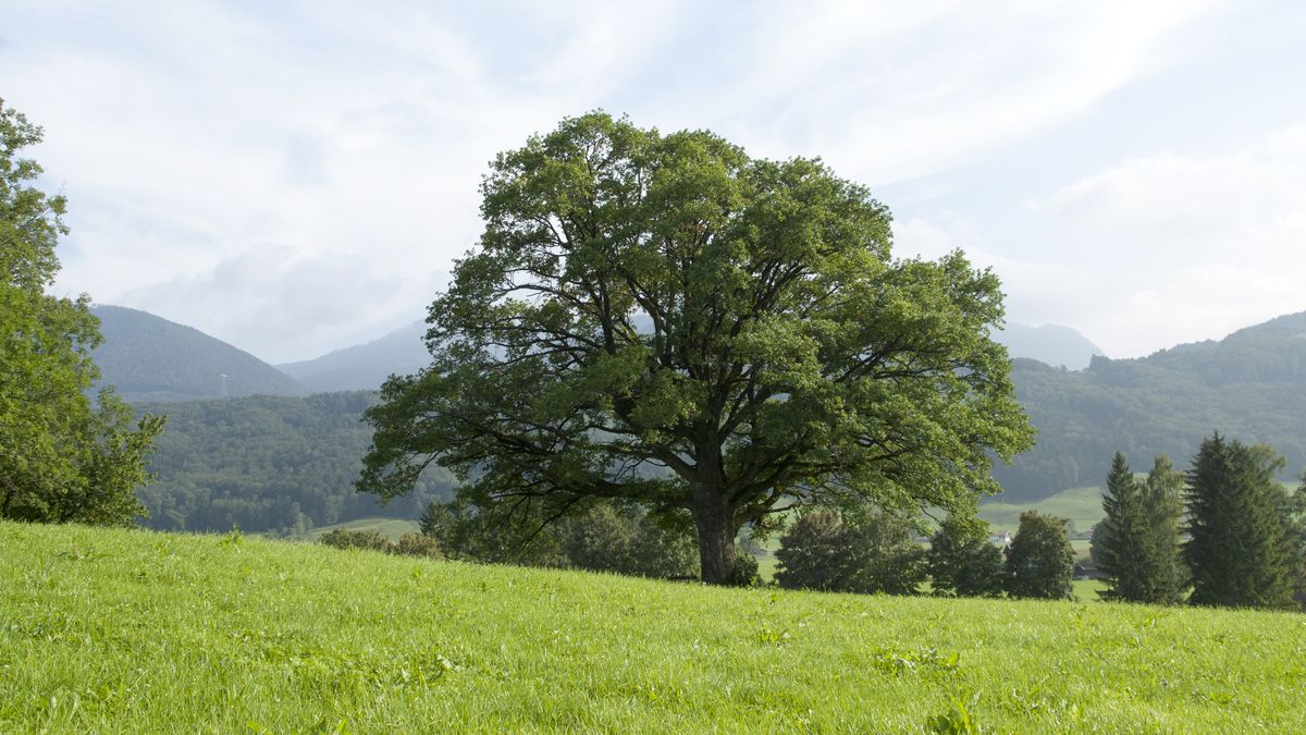 Ein großer Baum an einer Wiese nahe der Berge