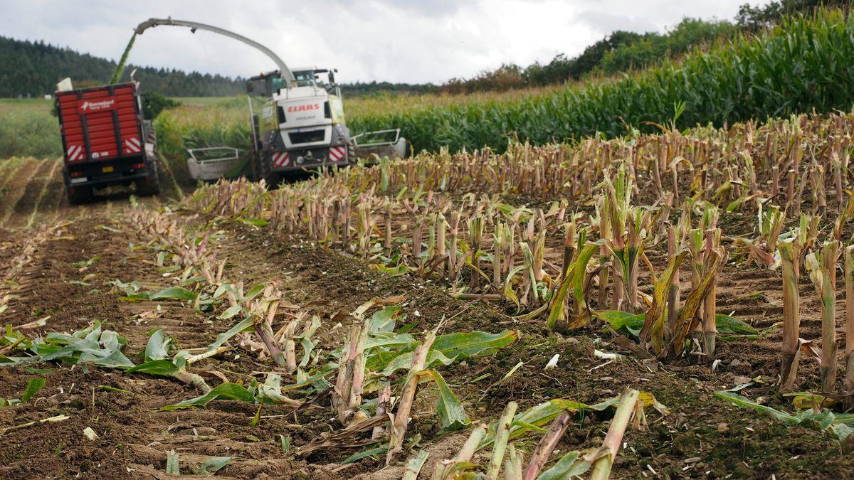 Landwirt entdeckt Eisenstange in Maisfeld (Symbolbild)