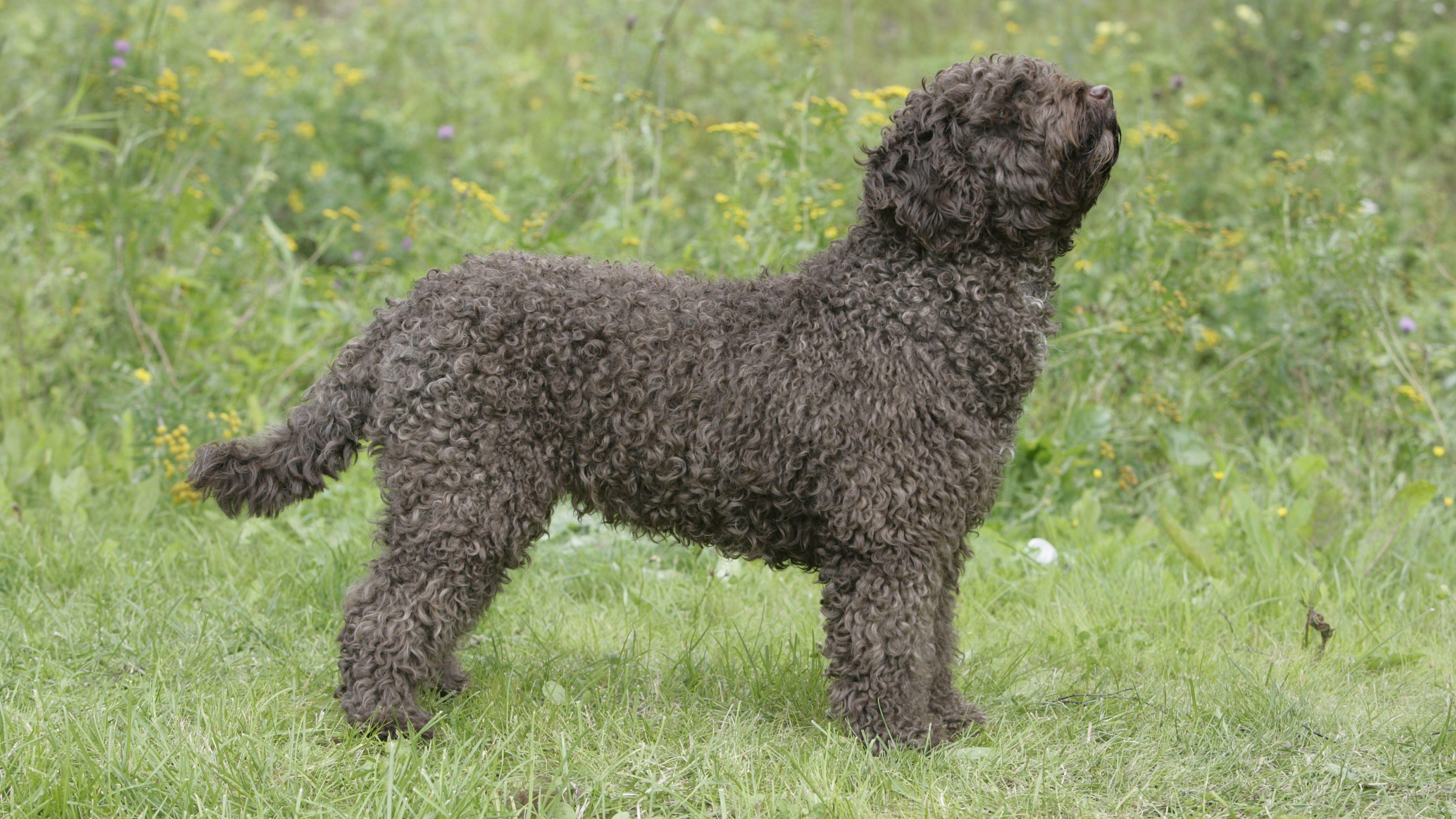 Ein spanischer Wasserhund - wohl ein eher schüchterner Hund.