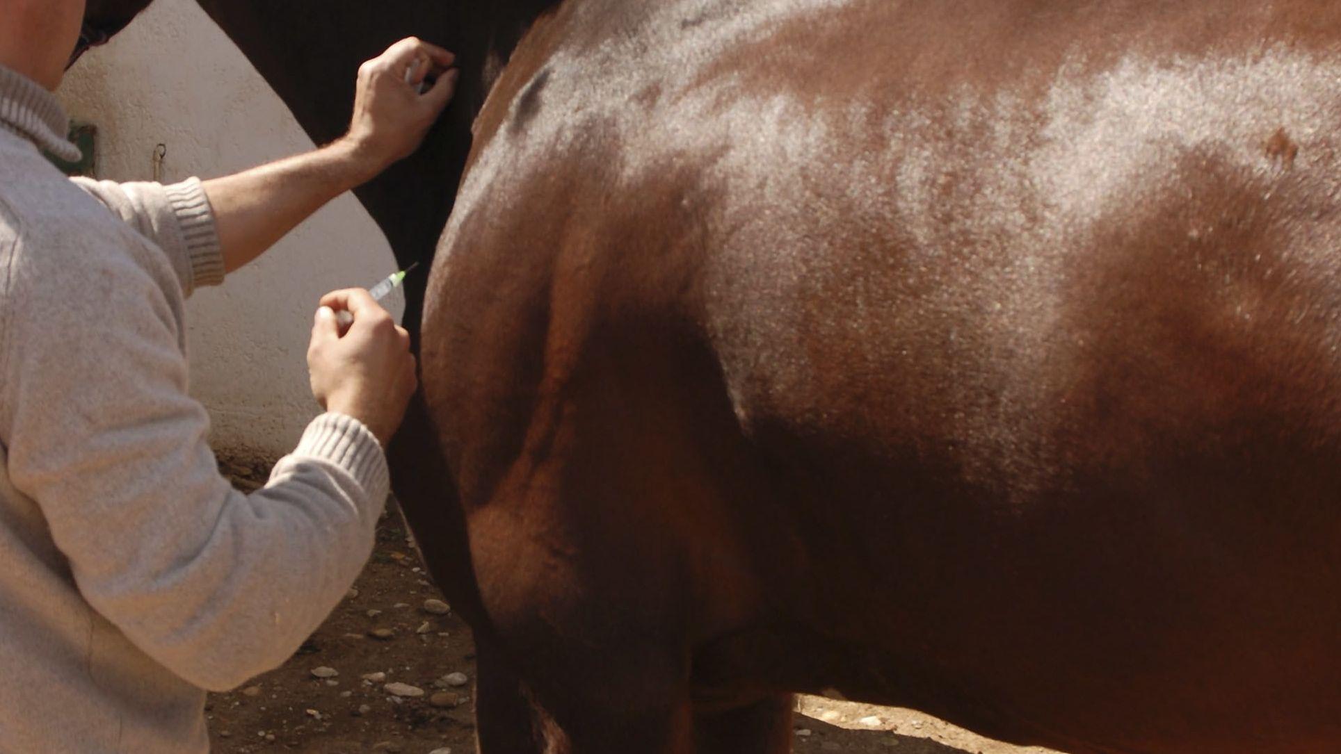 Veterinär gibt einem Pferd eine Spritze (Symbolbild)
