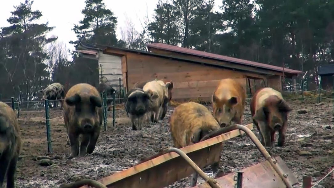 Schweinhaltung auf der Weide