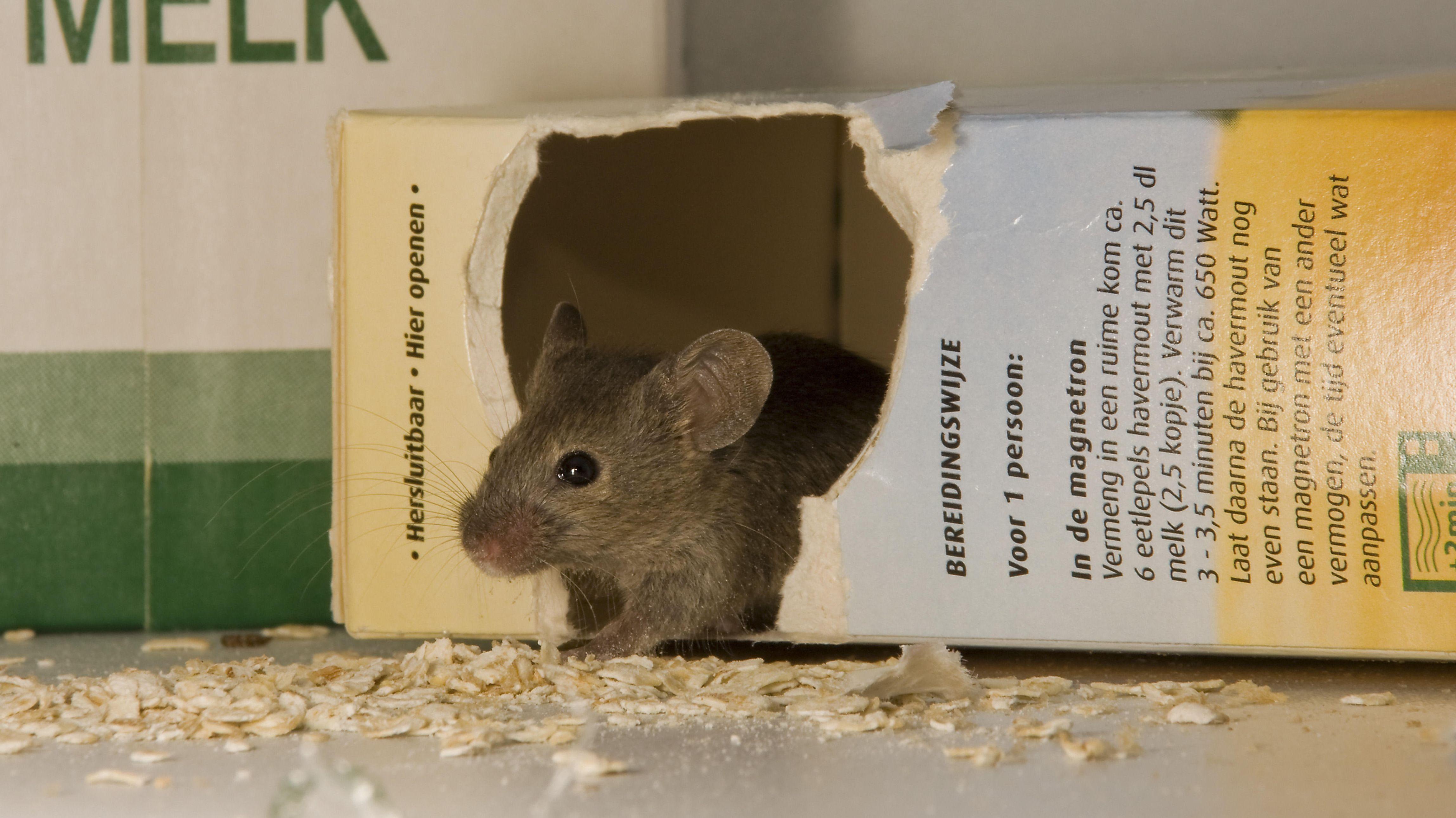 Eine Maus macht sich am Müsli zu schaffen (Symbolbild)