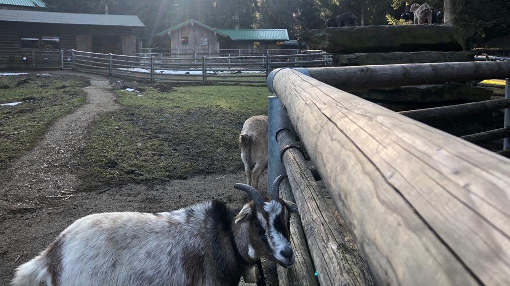 Die Ziegen im Streichelzoo vermissen die Besucher.