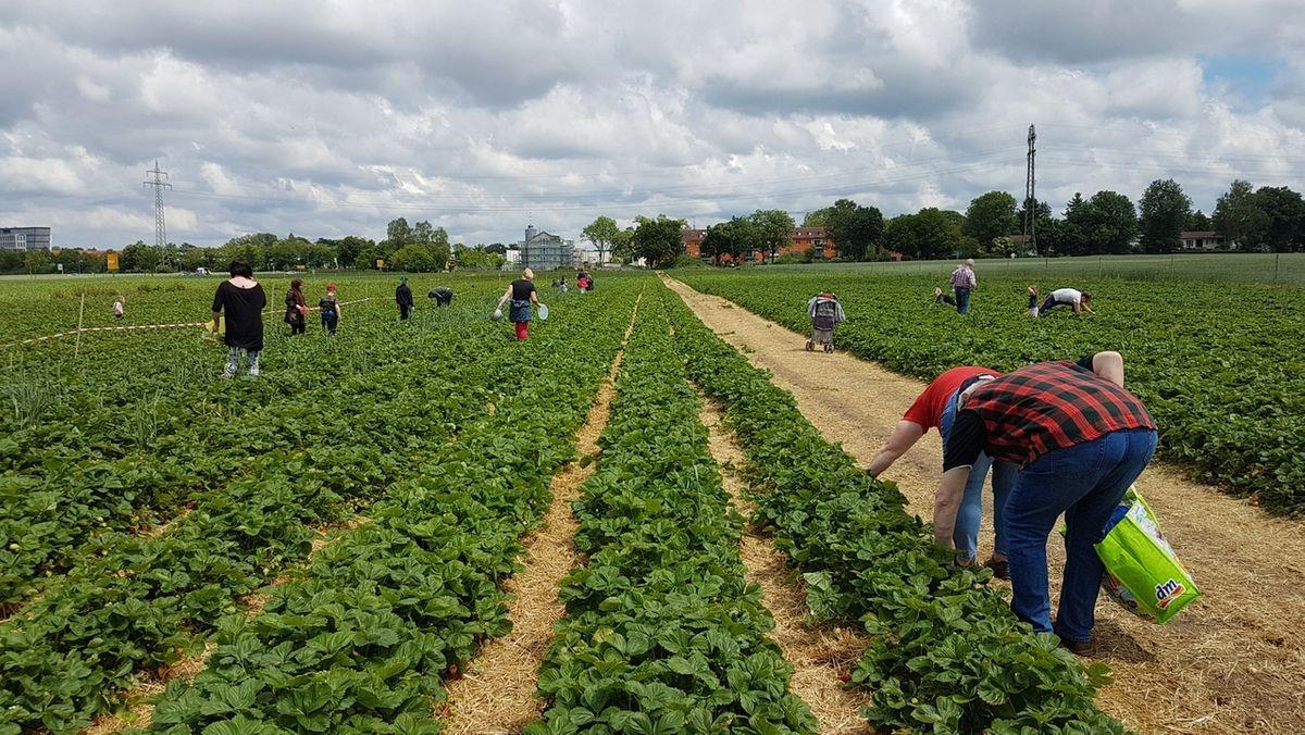 Ein Erdbeer-Feld mit vielen Selbstpflückern in Stadtbergen im Landkreis Augsburg