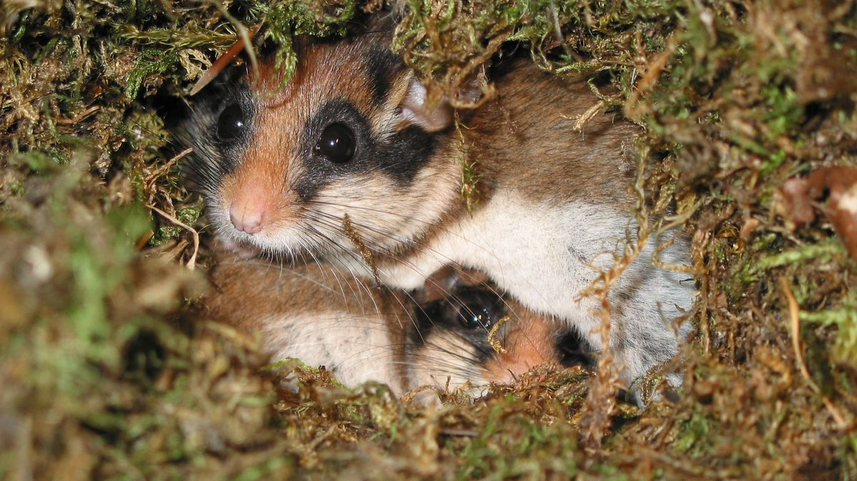 Gartenschläfer im Nest
