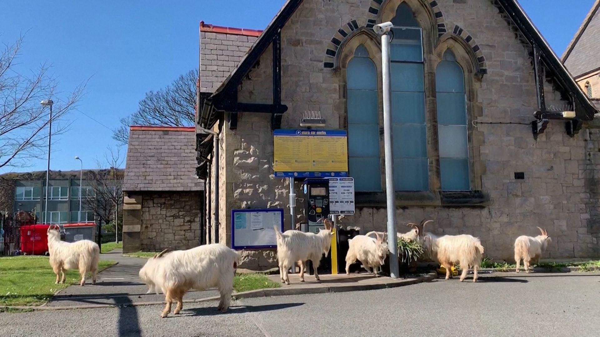 In Wales machen sich Ziegen in den durch das Coronavirus leergefegten Städten breit.