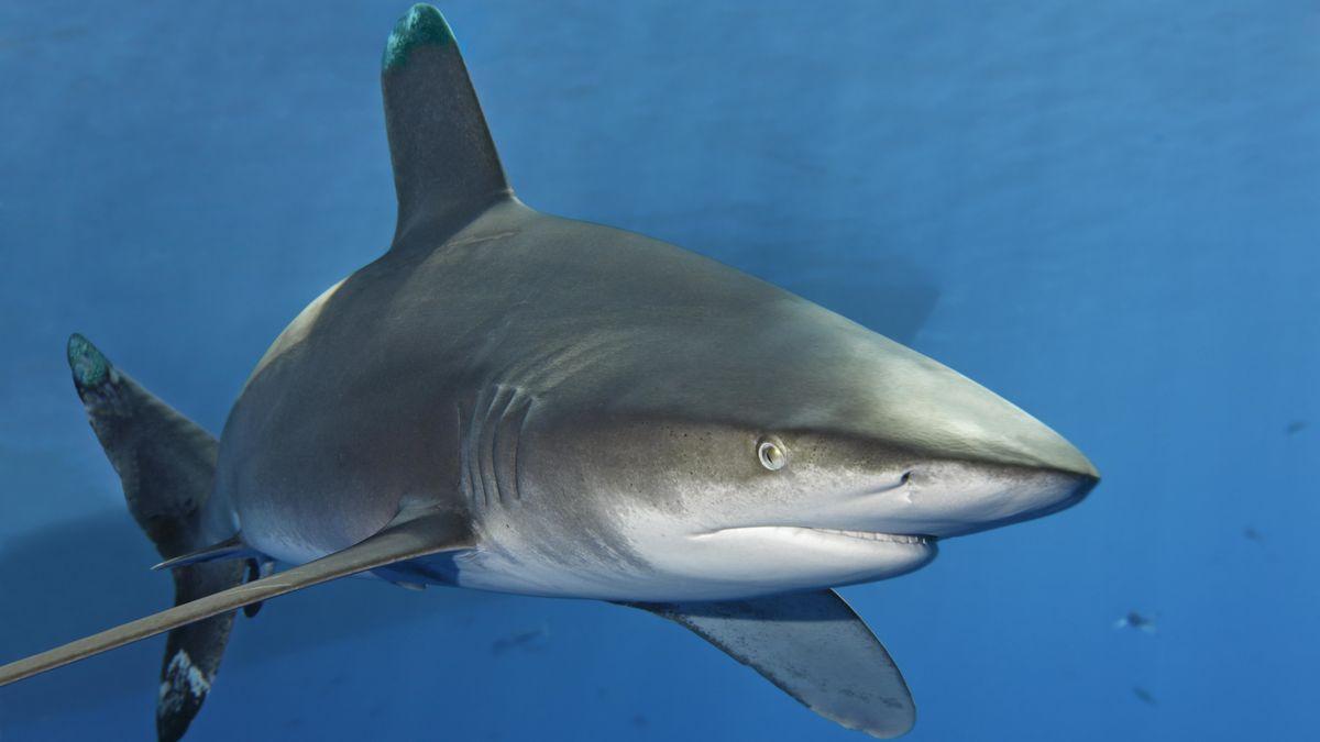 Hai vor der Küste Australiens (Symbolbild)