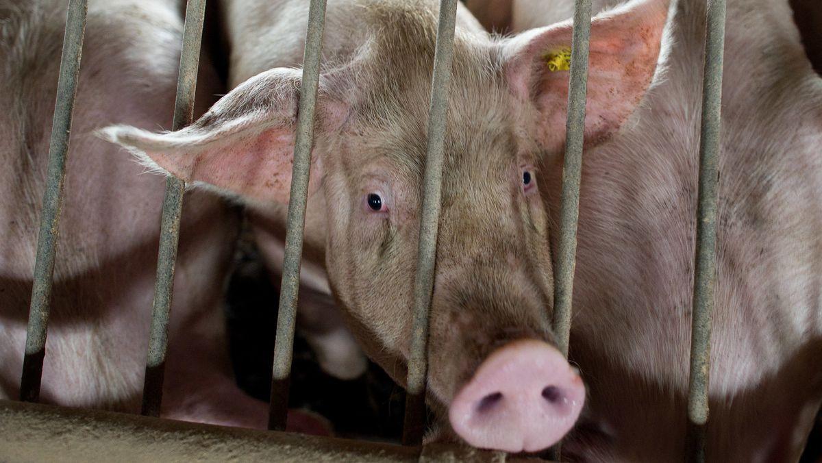 Hausschweine in einem Stall