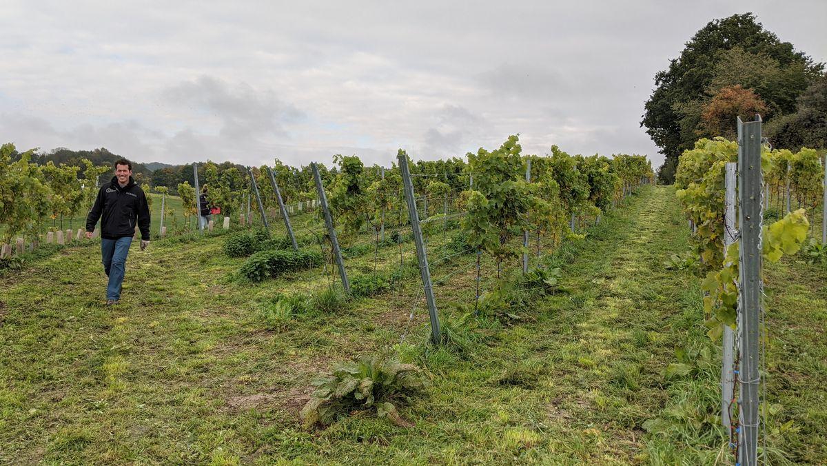 Winzer Uli Ernst bei der Weinernte bei Utting am Ammersee